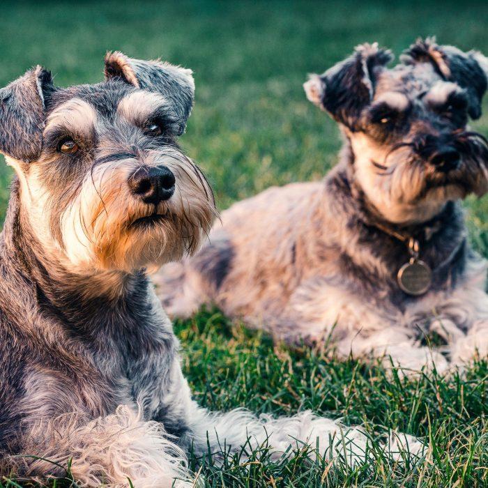 2-Griffon-bruxellois-kleine-hondenras-in-het-gras-scaled-700x700