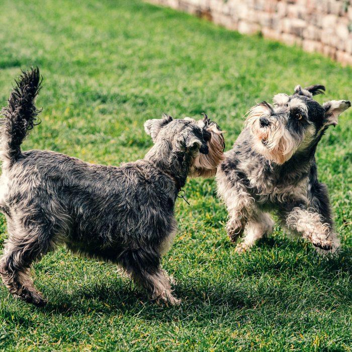 2-Griffon-bruxellois-kleine-hondenrassen-spelen-met-elkaar-in-het-gras-scaled-700x700