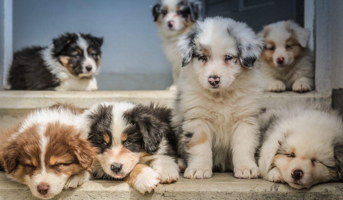 Australische-Herder-vermoeide-puppys-bij-elkaar-scaled-1200x700
