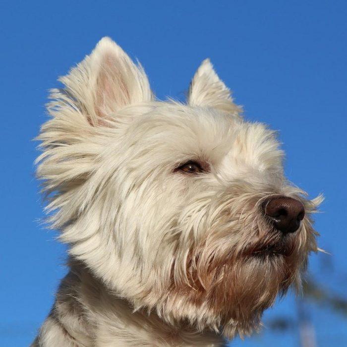 West-highland-white-terrier-kleine-hondenras-close-up-700x700