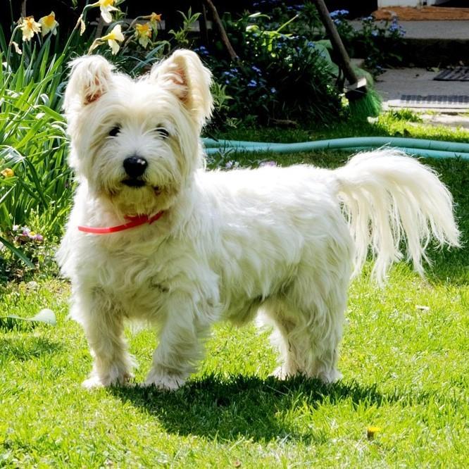 West-highland-white-terrier-kleine-hondenras-in-de-tuin