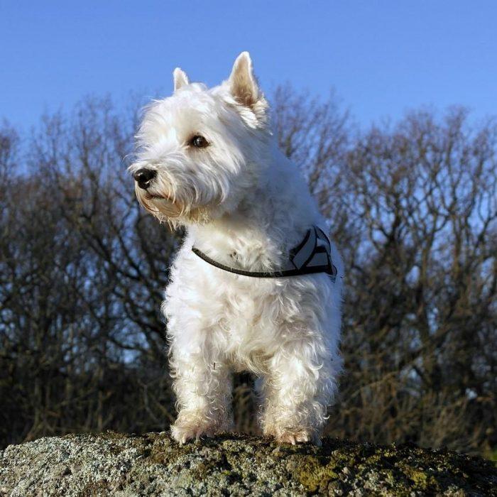 West-highland-white-terrier-kleine-hondenras-op-een-steen-700x700