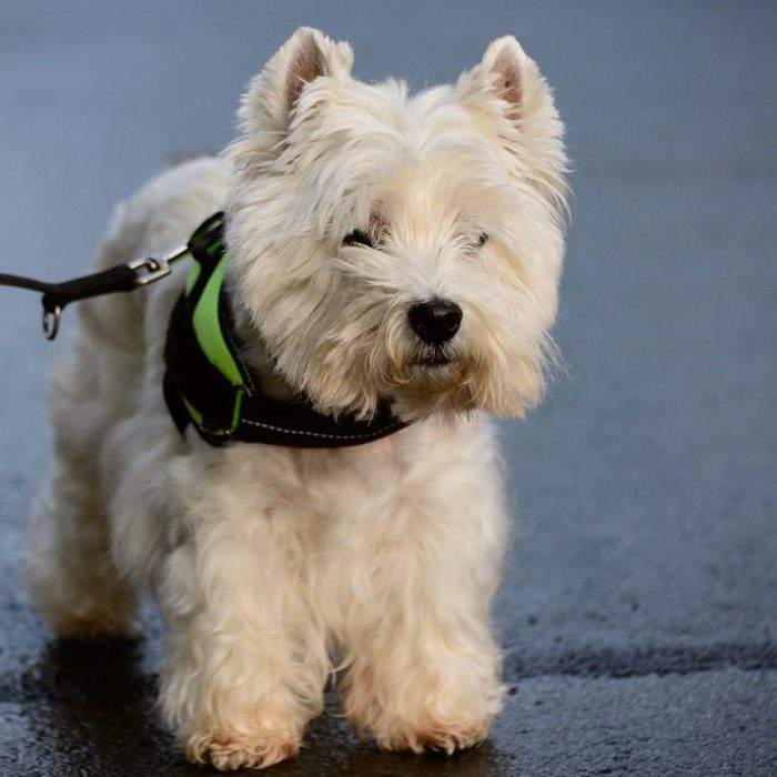 West-highland-white-terrier-kleine-hondenras-puppy-aan-de-riem-2-700x700