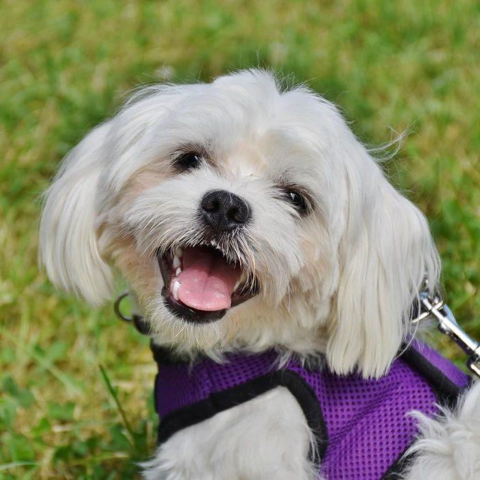 blije-maltezer-kleinde-hondenras-700x700