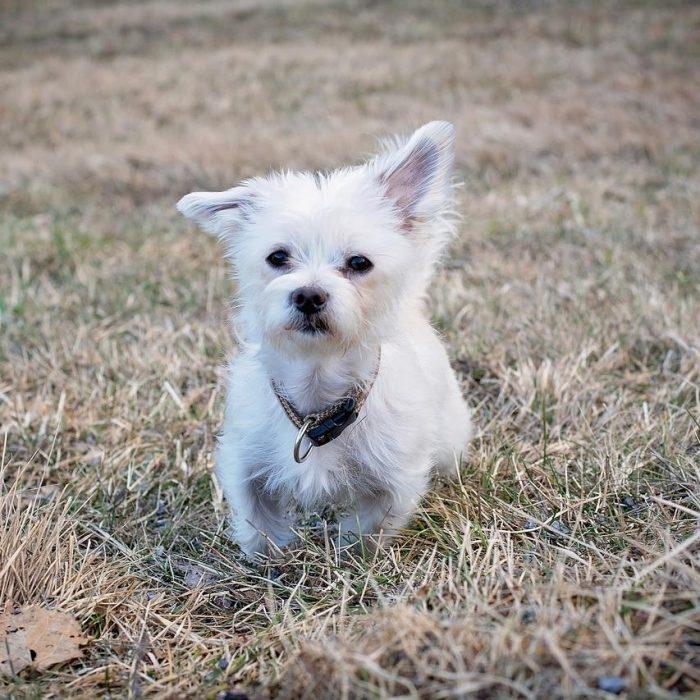 maltezer-puppy-in-het-gras-700x700