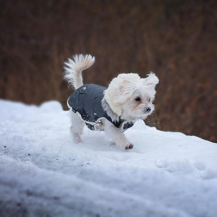 maltezer-puppy-kleine-hondenras-loopt-door-de-sneeuw-700x700
